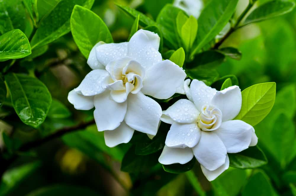 A couple of gardenia white flowers covered in morning dew.