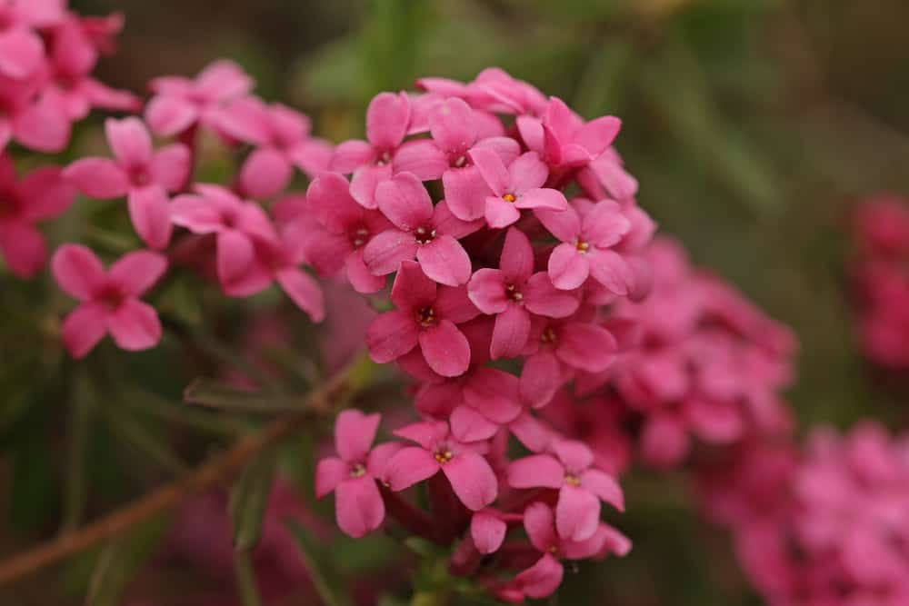 Clusters of pink garland flowers with blurry background.