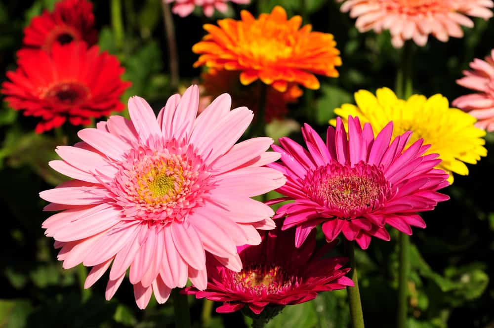A garden of gerbera daisy in various hues of pink, magenta, yellow, orange, and peach.