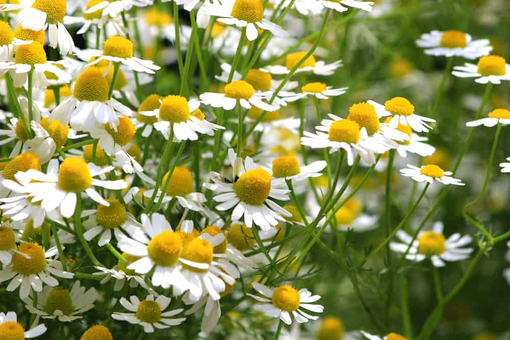 A garden of German chamomile with white petals and large yellow disks.