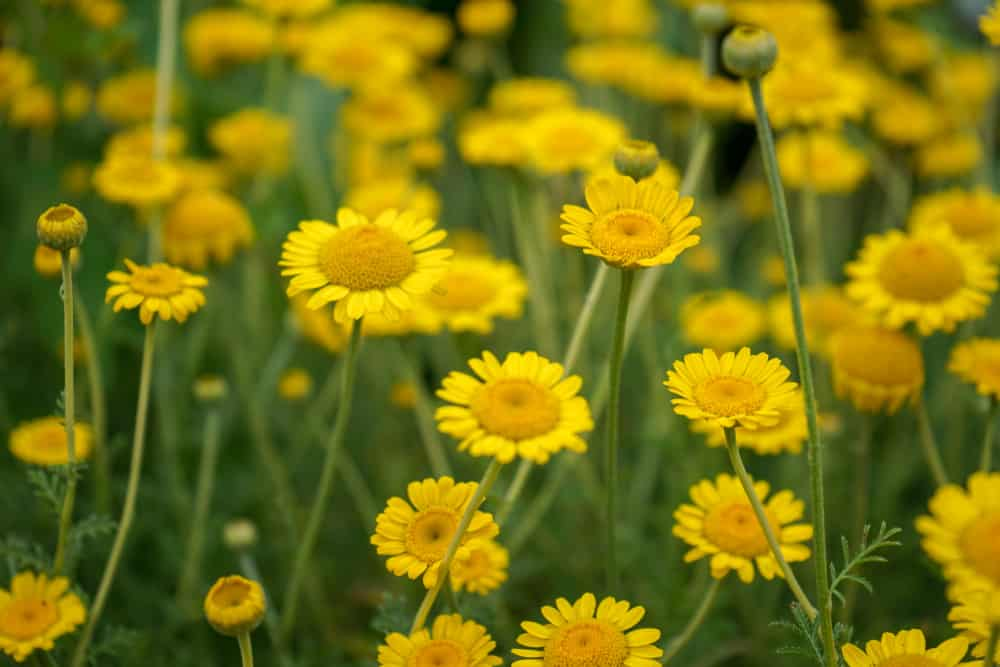 Golden marguerite with masses of yellow flowers growing in a summer garden.