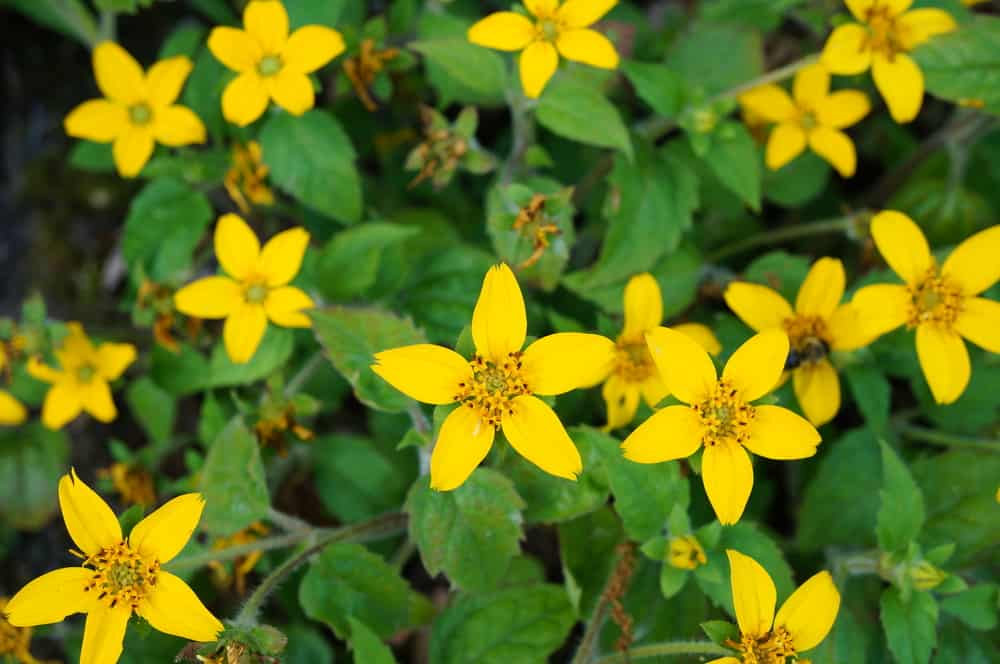 Green and gold plant with canary yellow star-like flowers and green, serrated leaves.