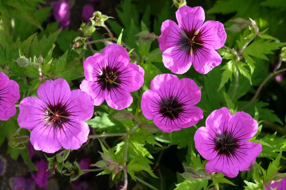 Hardy geraniums with vivid purple blooms and serrated foliage.
