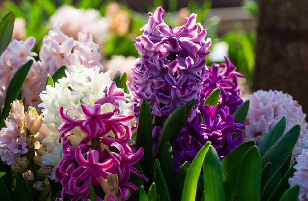 Hyacinth garden with clusters of star-shaped flowers in various colors.