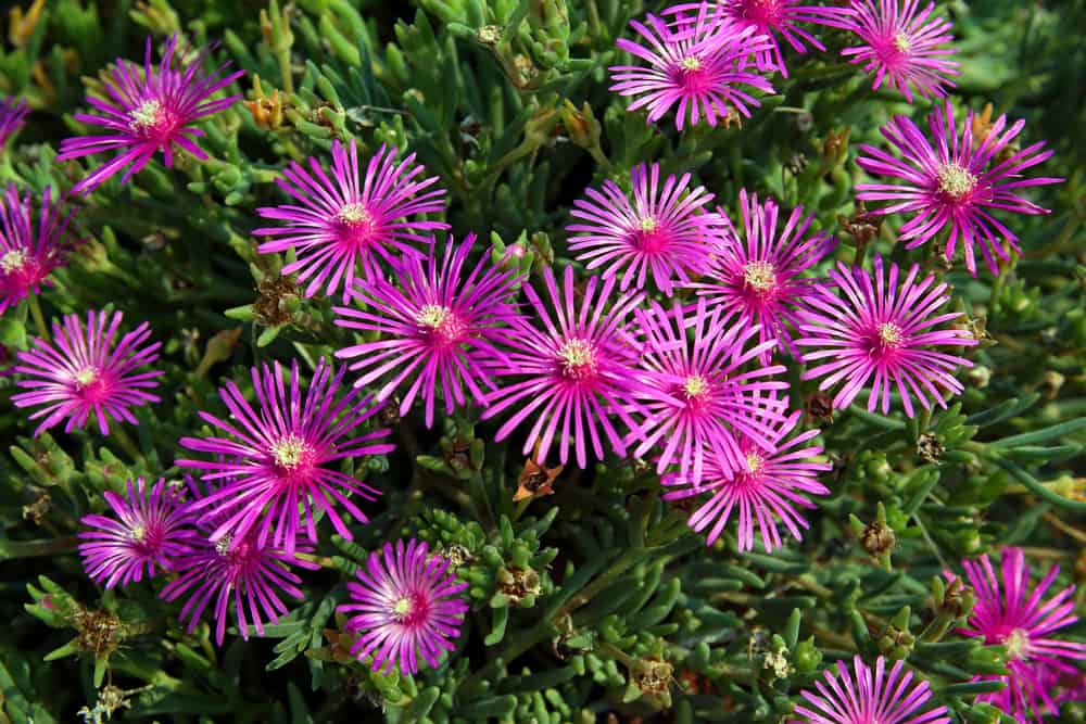 Purple ice plant blossoms with thin, daisy-like petals and small yellow centers.