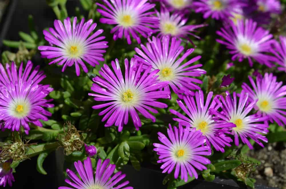 A garden of iceplant with purple flowers and succulent foliage.