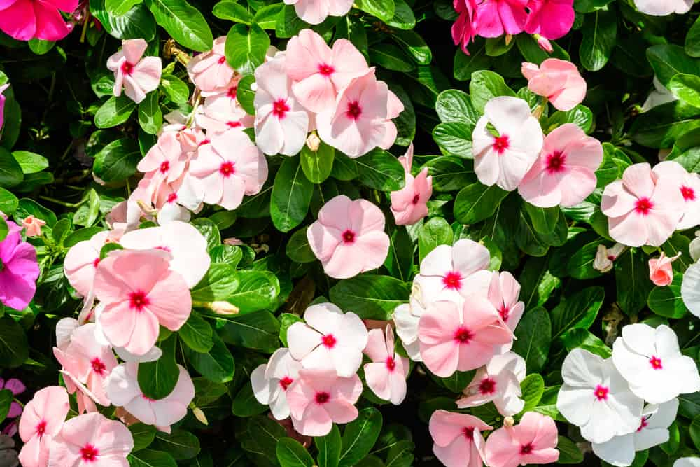 Impatiens with clusters of pink and white flowers blooming in a summer garden.