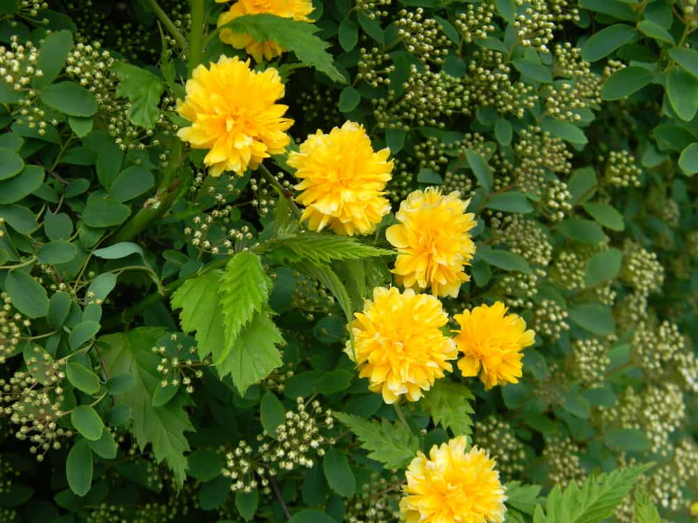 Japanese rose with vibrant yellow blooms and birch-like leaves.