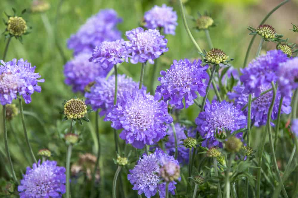 Lilac blooms of knautia growing in a garden,