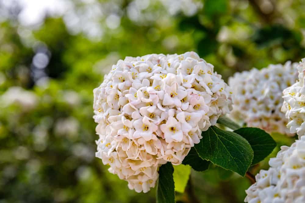 Korean spice viburnum with clusters of white florets and deep green leaves.