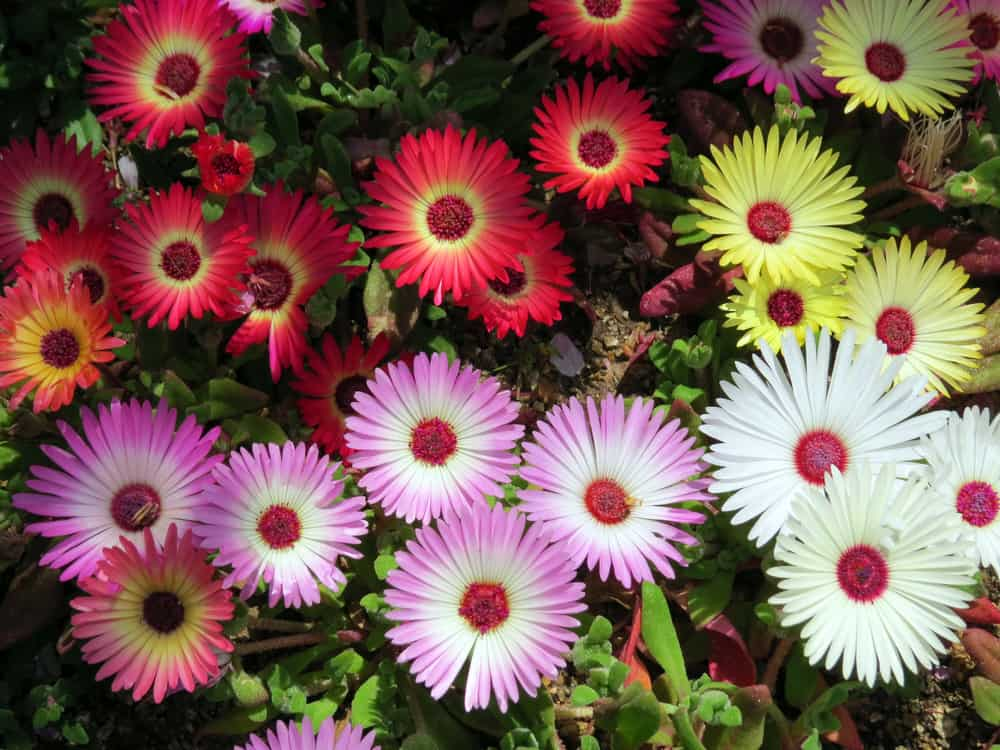 Multicolored blooms of Livingstone daisy in red, purple, yellow, and white hues with red centers.