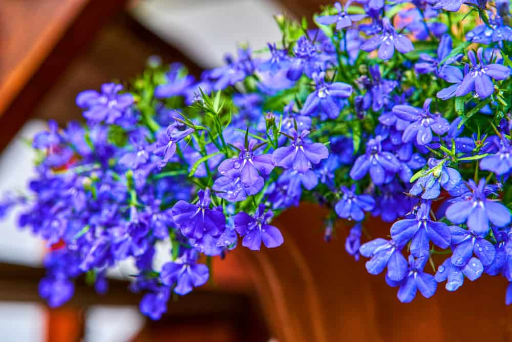 Tiny purple blooms of a lobelia plant with morning dews growing in a large terracotta pot.
