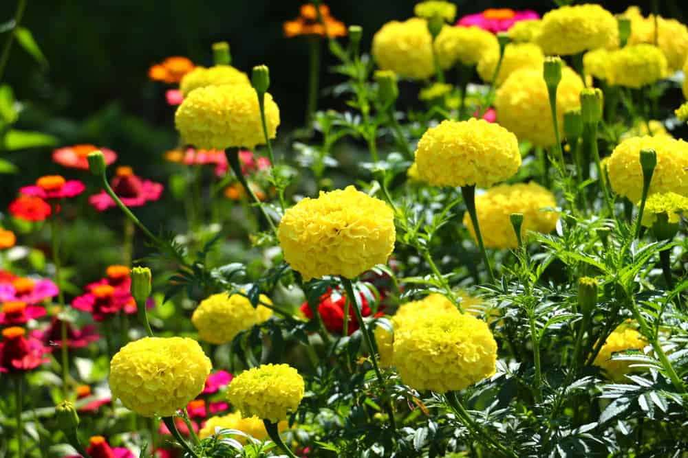 Marigolds with bright yellow frilly flowers blooming in a summer garden.