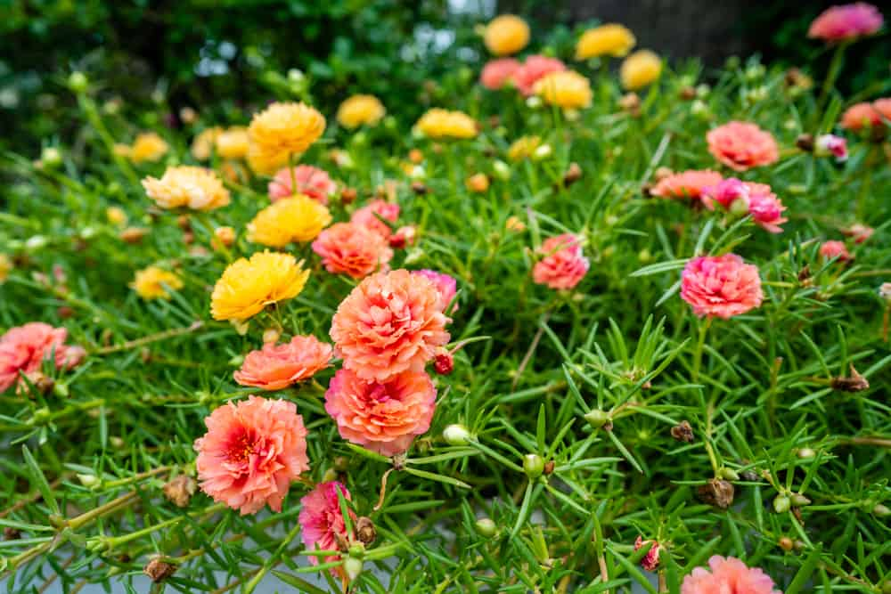 Moss rose with succulent foliage and tiny, fringed blooms in yellow, pink, and peach hues.