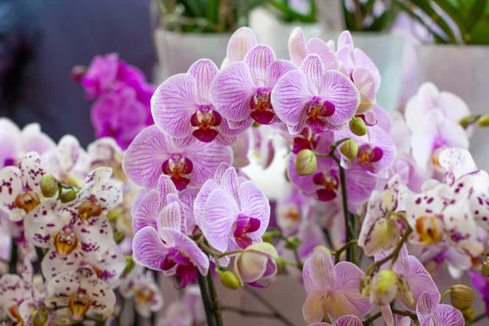 Close-up of moth orchids with decorative blossoms growing in a garden.