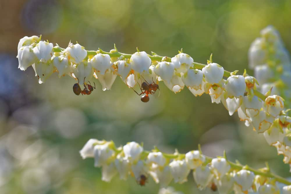 Ants feeding on the white bell-shaped flowers of a mountain andromeda shrub.