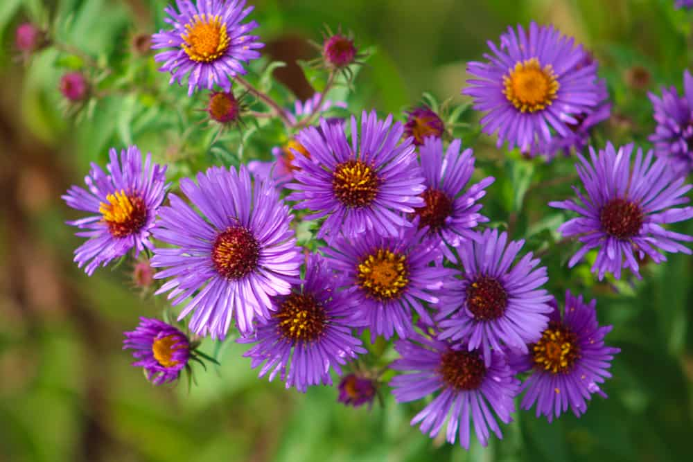Close-up of New England asters with purple flowers and yellow centers.