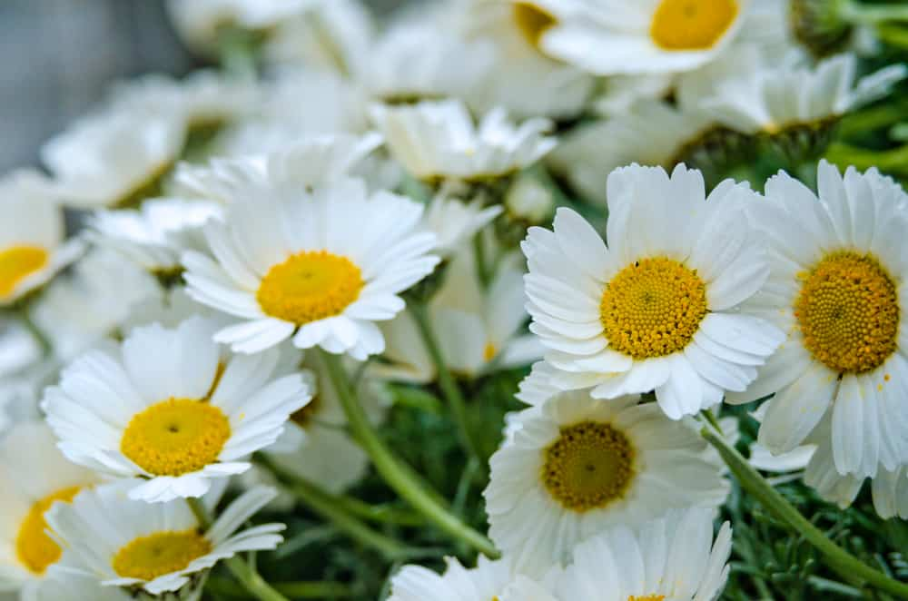 Nippon daisy with snow white flowers and yellow centers growing on top of its long stalks.