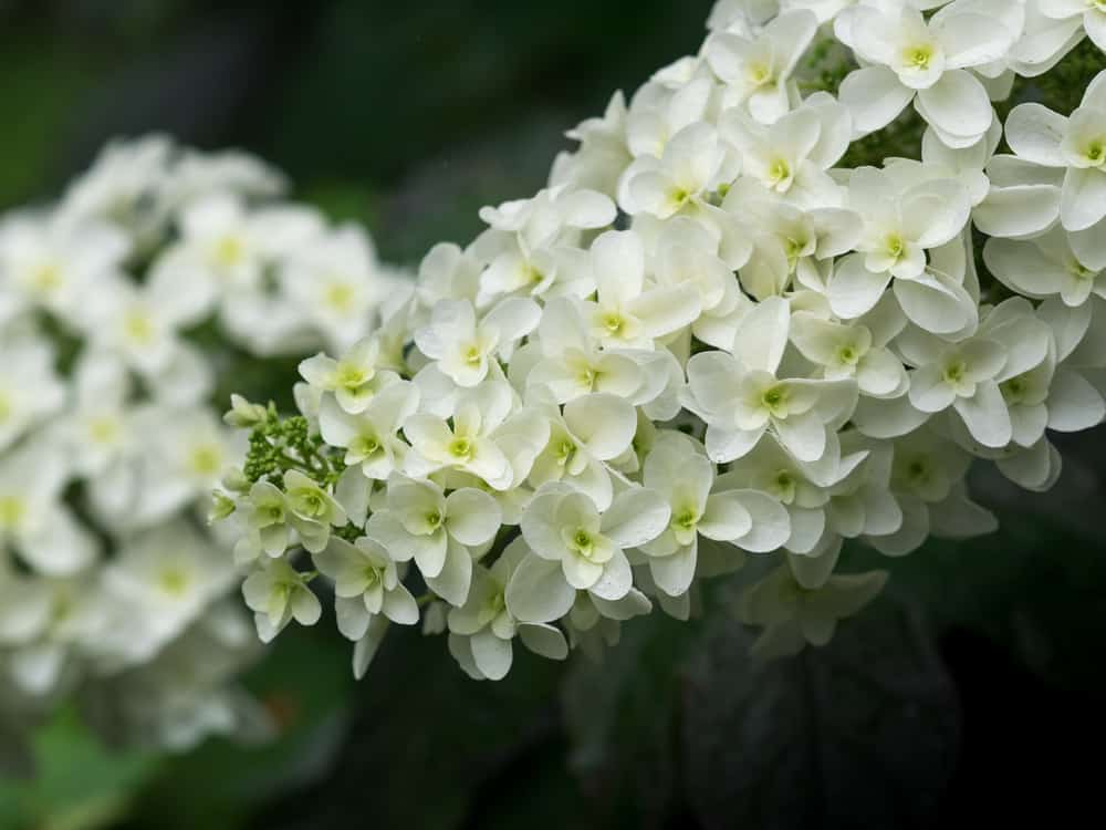 Close-up of oakleaf hydrangea with masses of white blossoms clustered in packs.