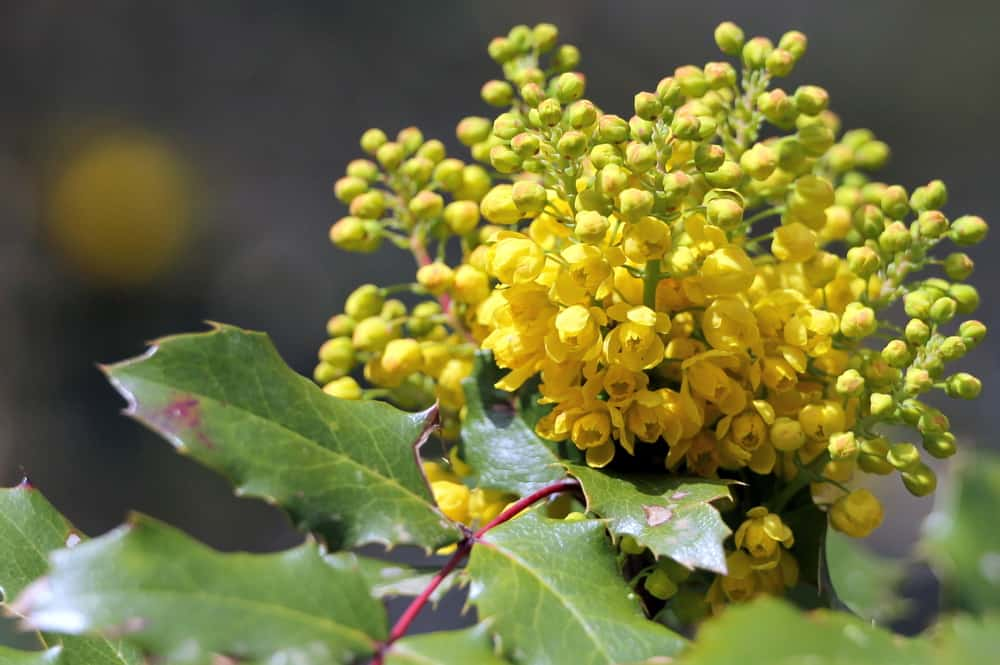 Oregon grape with panicles of bright yellow florets and leathery serrated leaves.