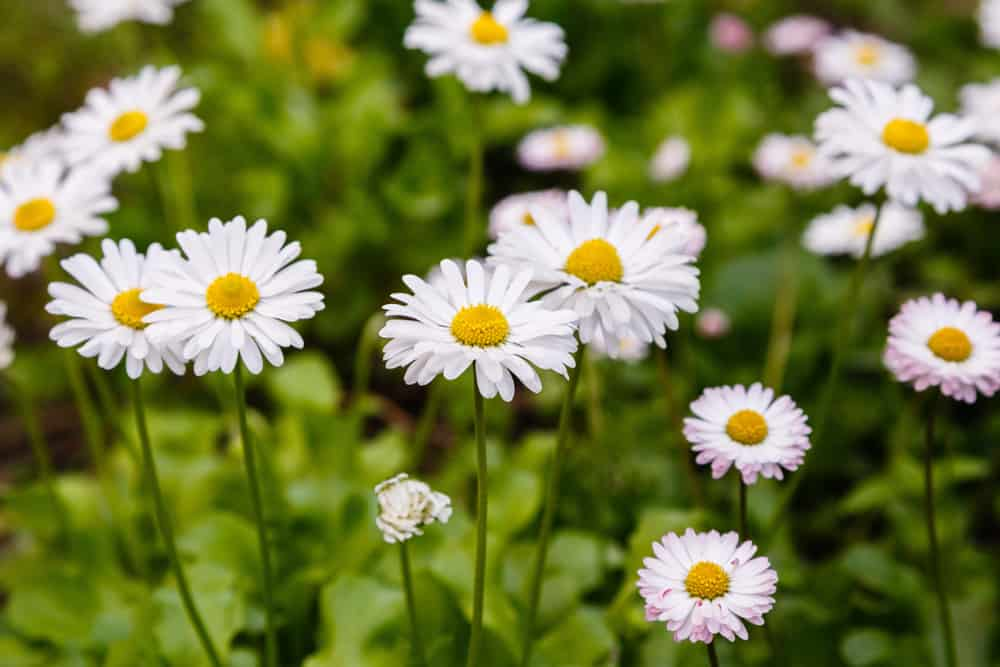 Oxeye daisies showcasing its white daisy like blooms with yellow centers.