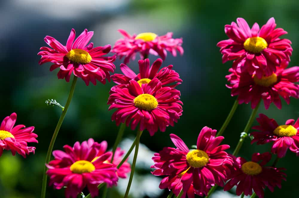 Close-up of painted daisies with red velvet blooms against a bokeh background.