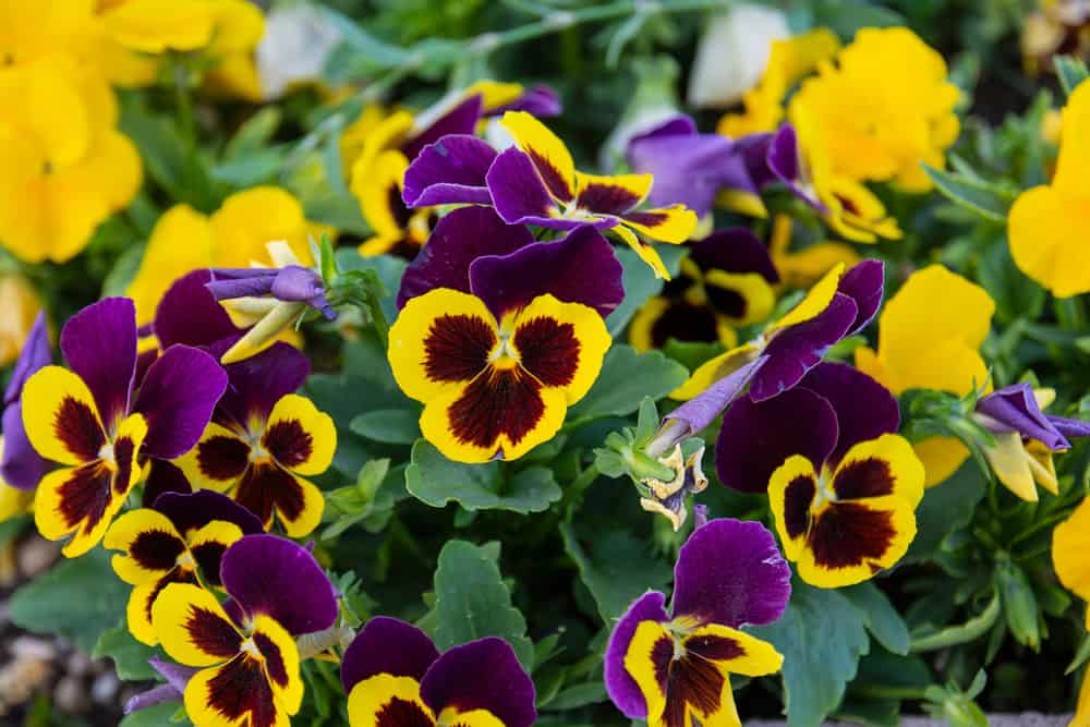 Close-up of pansies with purple and yellow blooms against its dark green foliage.
