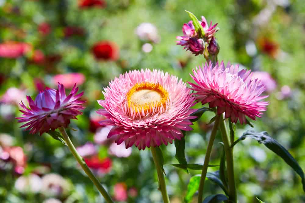 Close-up of paper daisies with intricate pink blossoms and long, narrow foliage.