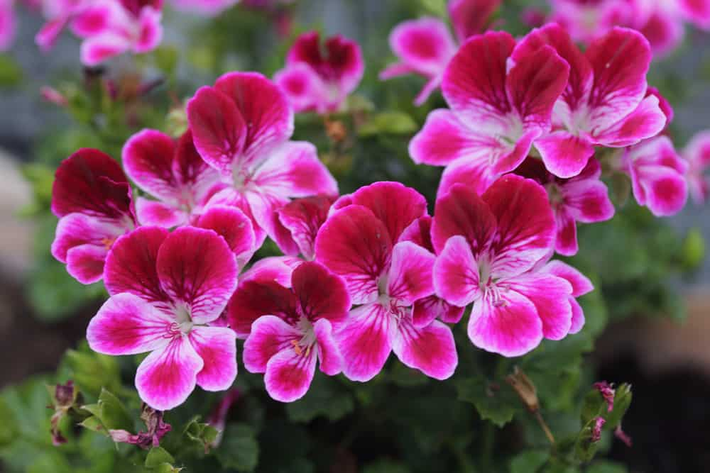 Pelargoniums with clusters of two-tone pink flowers growing in a summer garden.