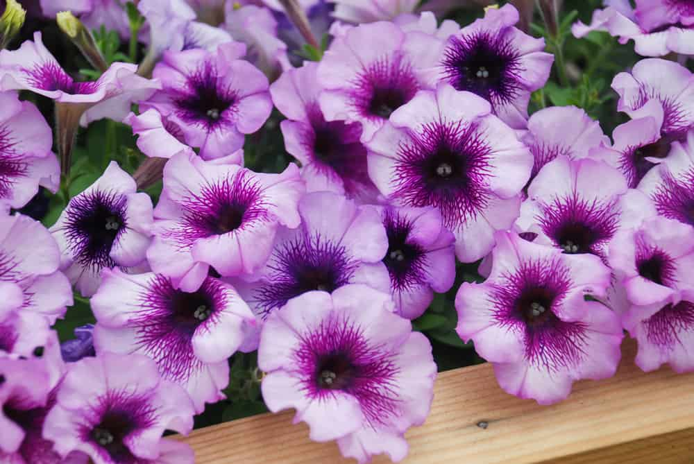 Close-up of petunia plant with large, purple blooms growing in a garden tray.