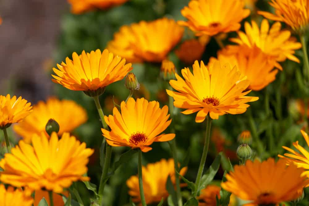 Vibrant orange blooms of a pot marigold growing in a summer garden.