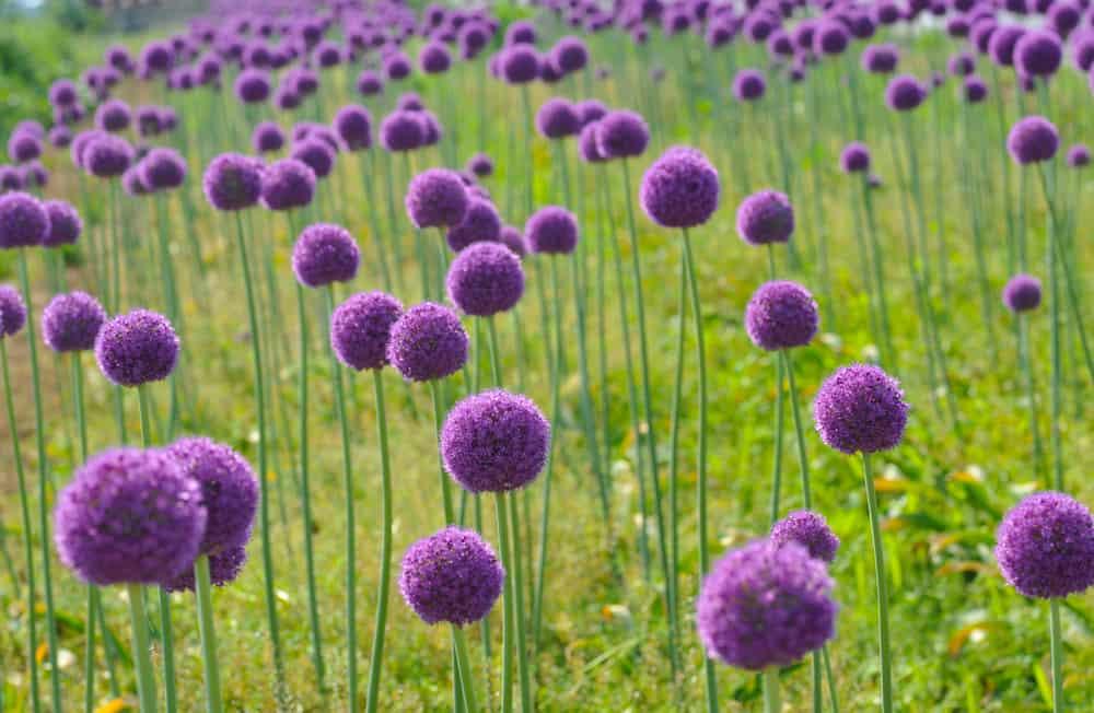 Beautiful field of globe like purple allium flowers atop long flower stems