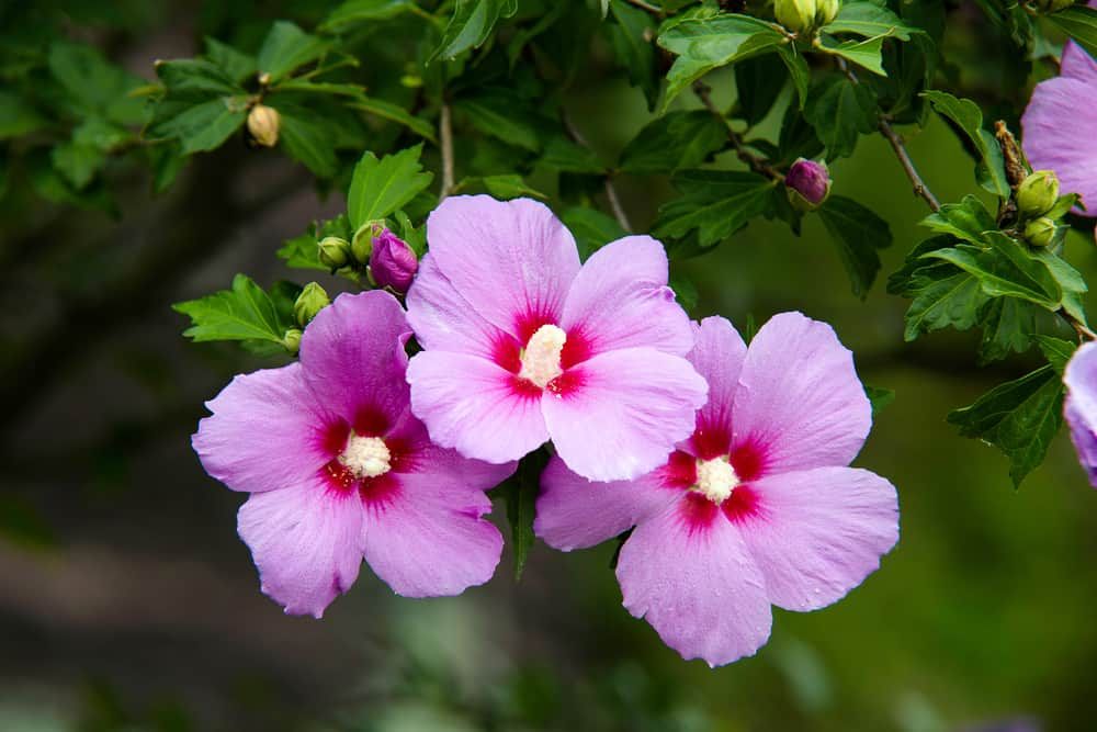 Close-up of rose of Sharon blooms with pink rounded petals and striking yellow stamens.