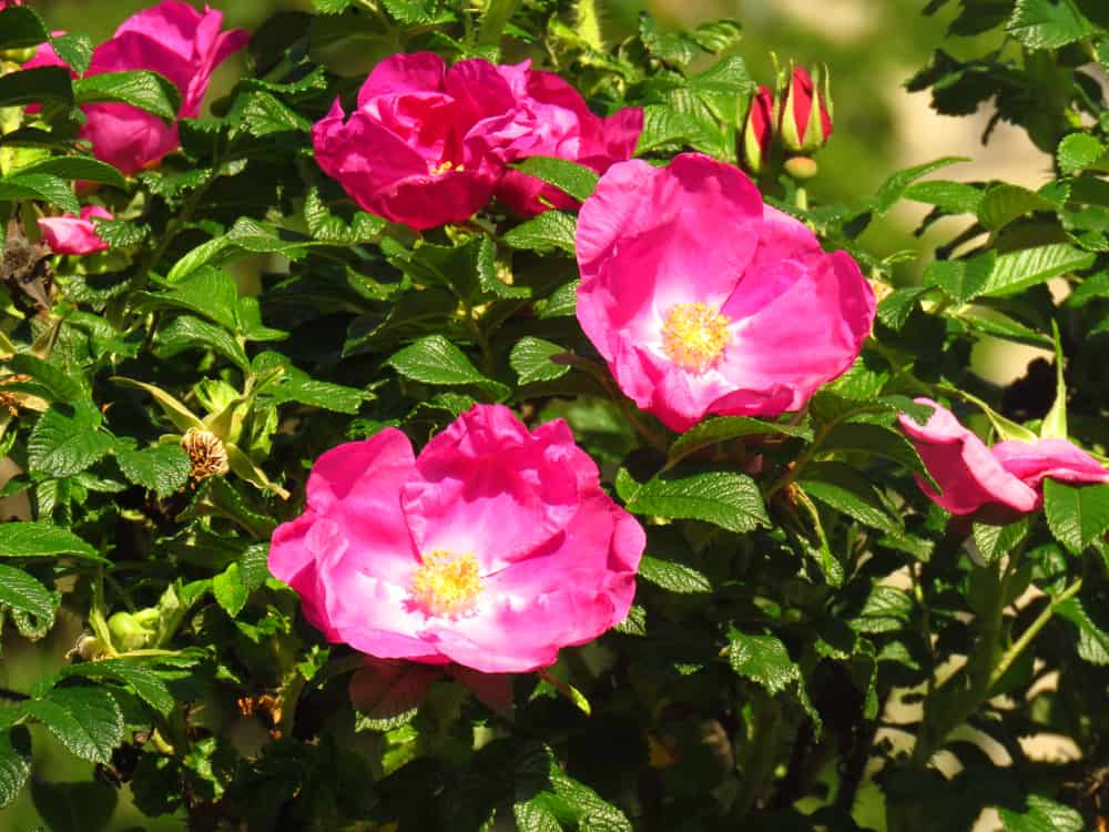 Rugosa rose with large, rounded pink flowers and leathery green leaves.