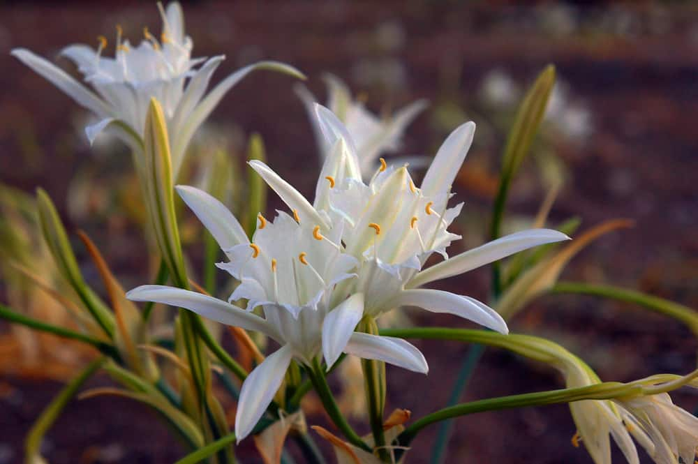 Sea daffodils with pristine white blooms growing atop its long, slender stalks.