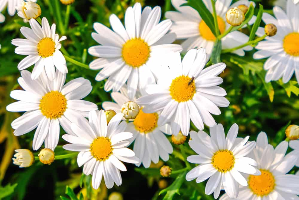 Shasta daisy with snow white flowers and golden center discs.