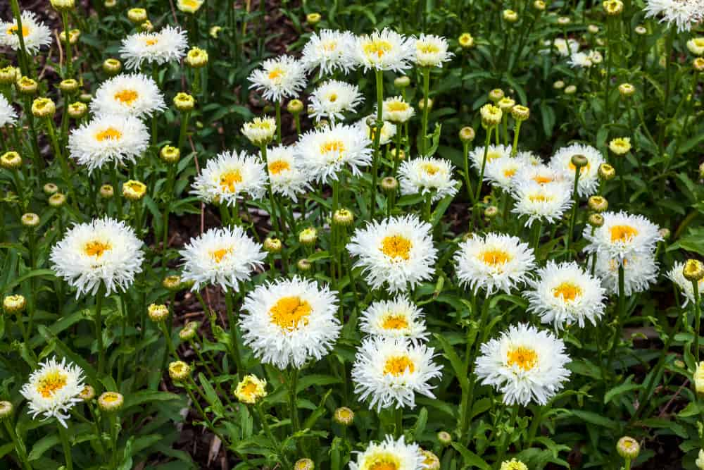 Shasta daisy blooms with white fringed petals and yellow centers.