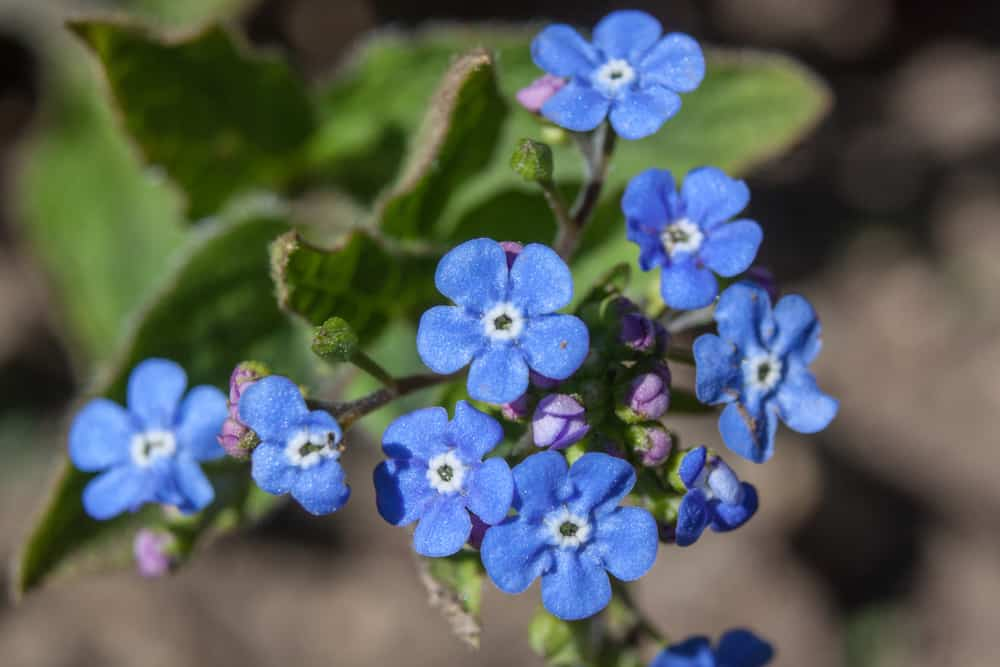 Close-up of a Siberian bugloss with clouds of blue flowers against its patterned foliage.