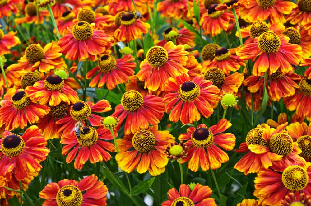 Sneezeweed plants with deep orange blooms and yellow spherical centers.