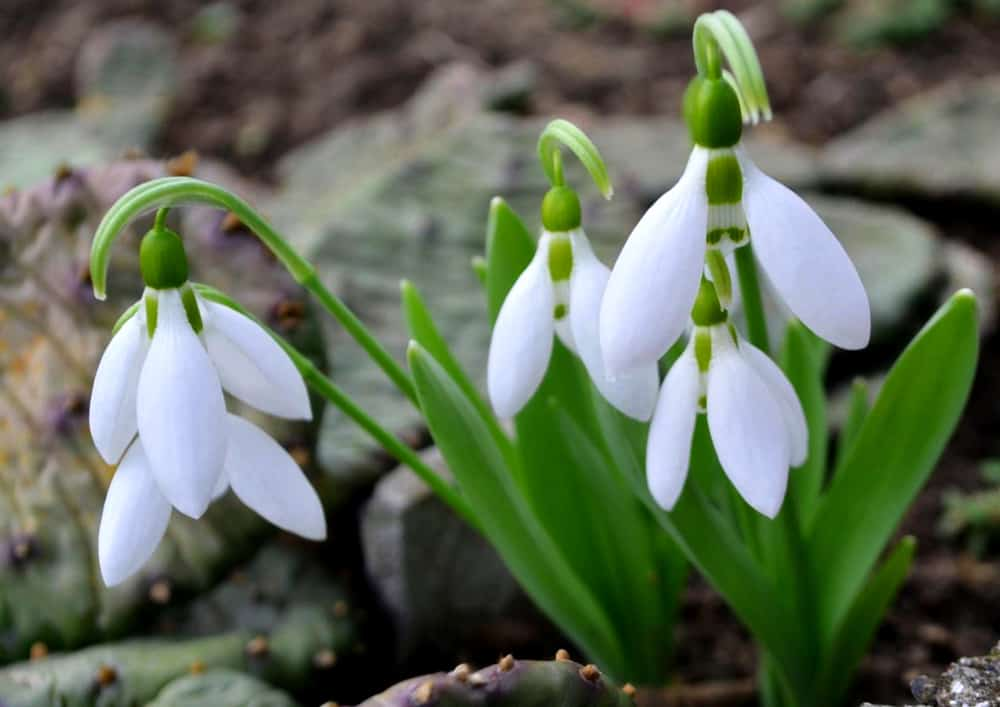 Close-up of snowdrops with white blossoms hanging from its arching stalks.