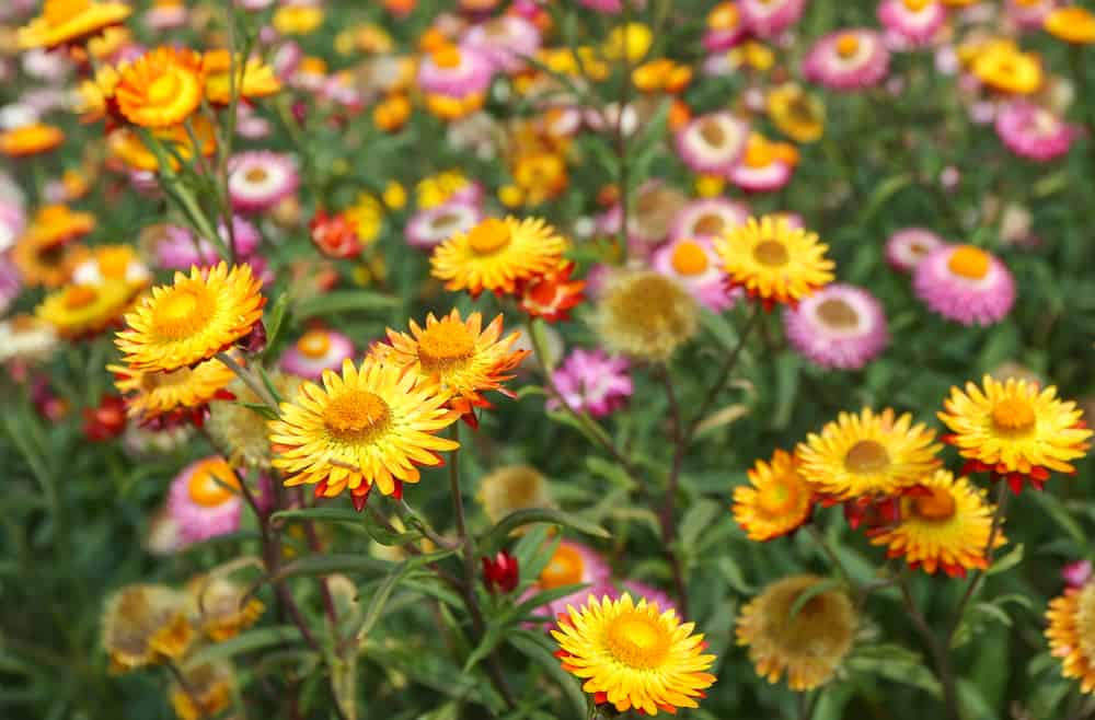 Strawflowers in yellow and pink blooms growing in a garden.