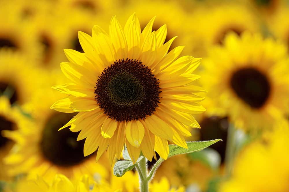 Close-up of sunflower with bright yellow bloom and large dark center.