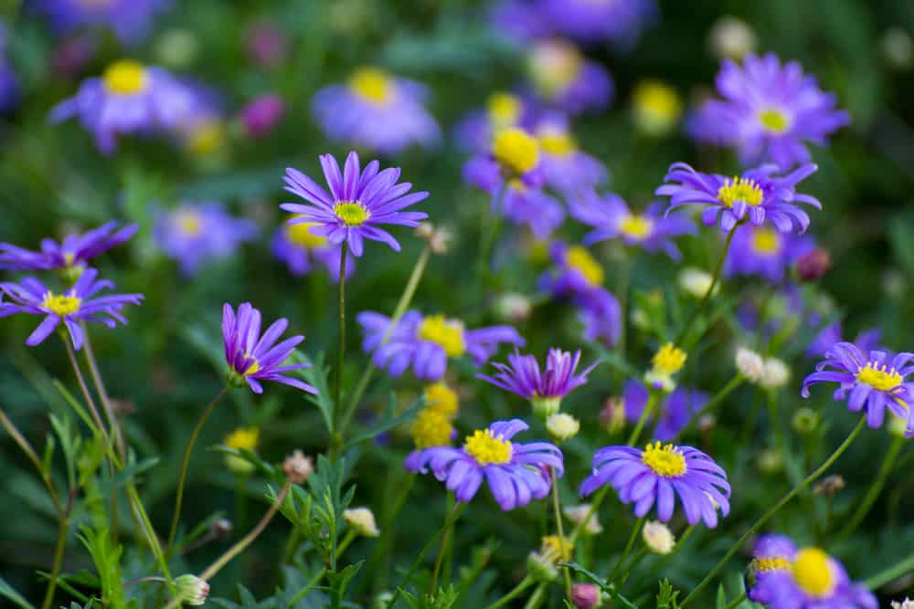 Small blossoms of swan river daisies with purple petals and yellow centers.