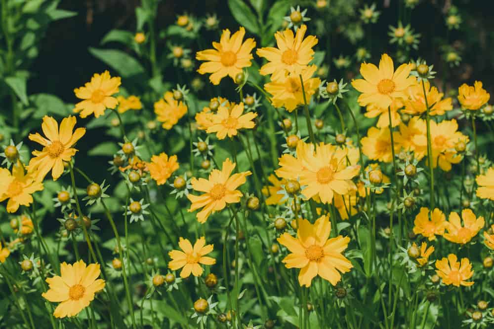 Tickseed with clusters of yellow daisy-like blooms growing in a summer garden.