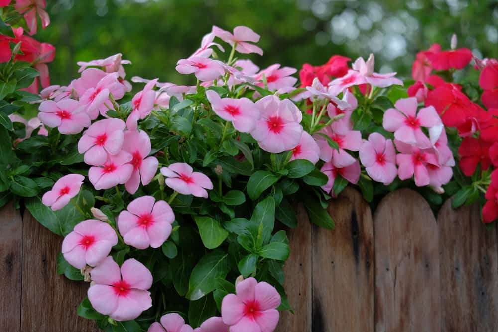 Vincas with pink, rounded blossoms creeping over a wooden fence.