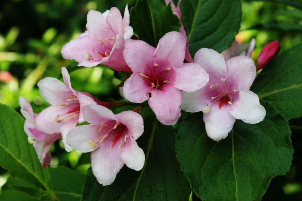 Weigela bush with large, deep green leaves and pink trumpet-shaped blossoms with stamens.