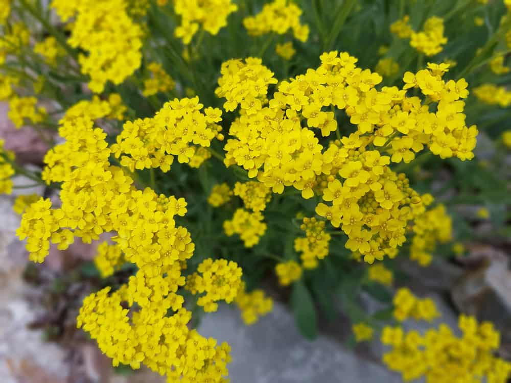 Clusters of yellow tiny flowers of a yellow alyssum plant against its dark green foliage.