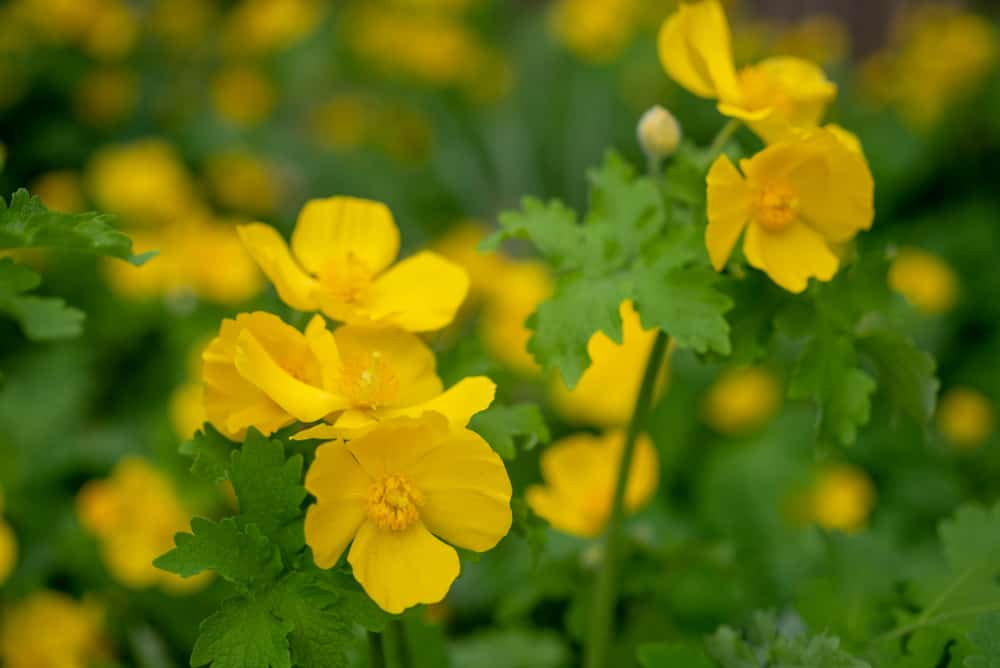 Macro shot of yellow wood poppies with small blossoms and green, fringed leaves.