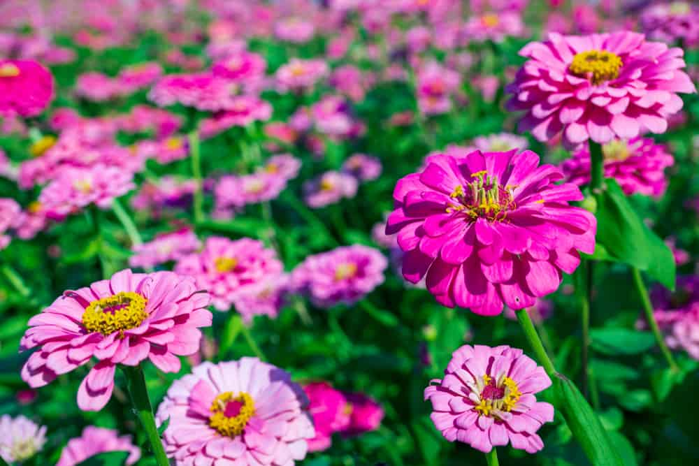Bright pink blooms of zinnia plant growing in a summer garden.
