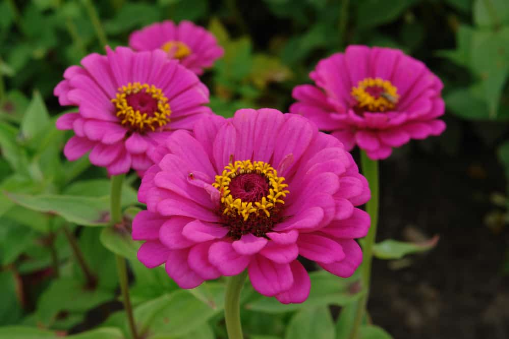 Zinnia plant with rounded magenta flowers adorned with decorative centers.